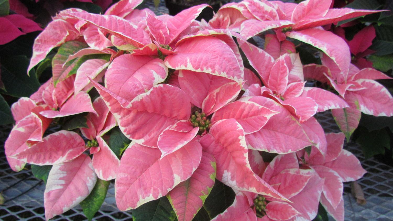 Poinsettias Cushman S Greenhouse Belmont Wi